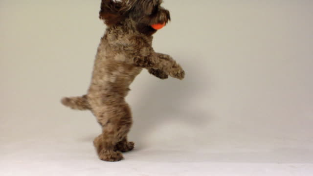 SM MS Cockapoo dog jumping and catching ball / Boston, Massachusetts, USA