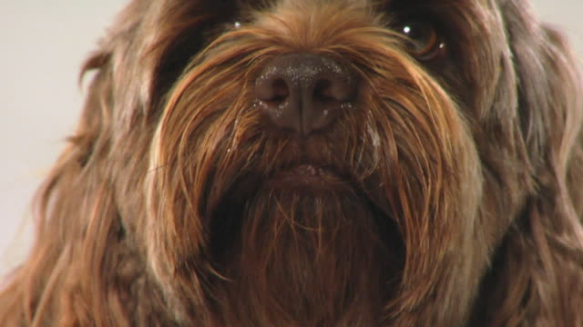 ecu cockapoo dog turning its head and sniffing / boston, massachusetts, usa - braun stock-videos und b-roll-filmmaterial