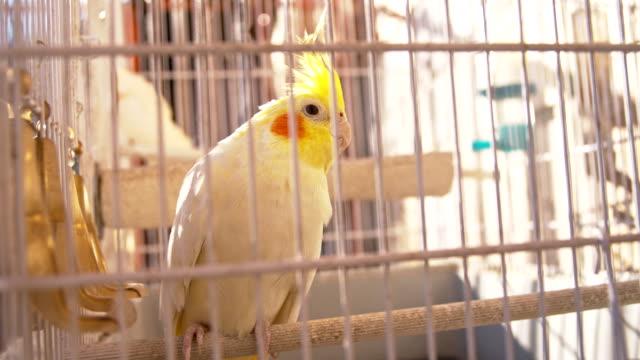 slo mo nymphensittich in der vogelkäfig - wellensittich sittich stock-videos und b-roll-filmmaterial