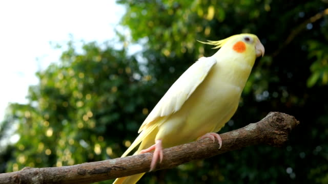 cockatiel singing and dancing - uccello video stock e b–roll