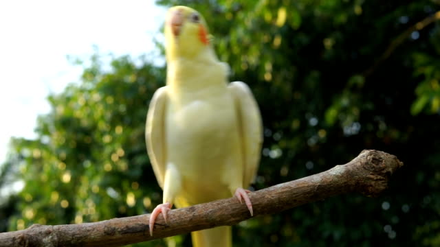 cockatiel singing and dancing - esotismo video stock e b–roll