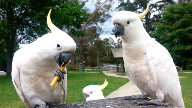 cockatoo birds eating, australia - parrot stock videos & royalty-free footage