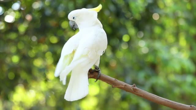 Kaketoe vogels