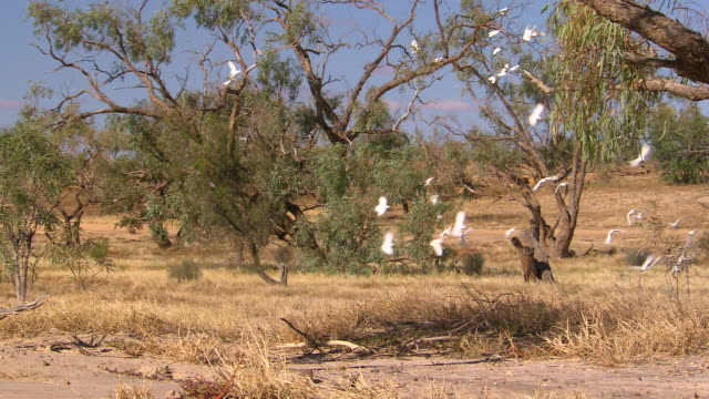 ms cockatoos flying on dried grass landscape / innamincka, south australia, australia - dry stock videos & royalty-free footage