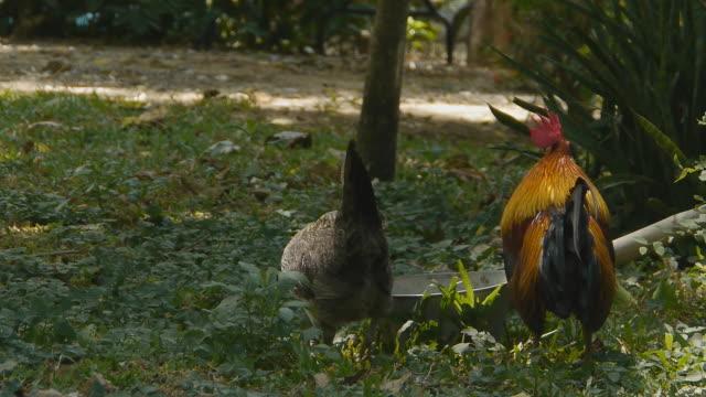 vídeos de stock e filmes b-roll de cockcrow - quatro animais
