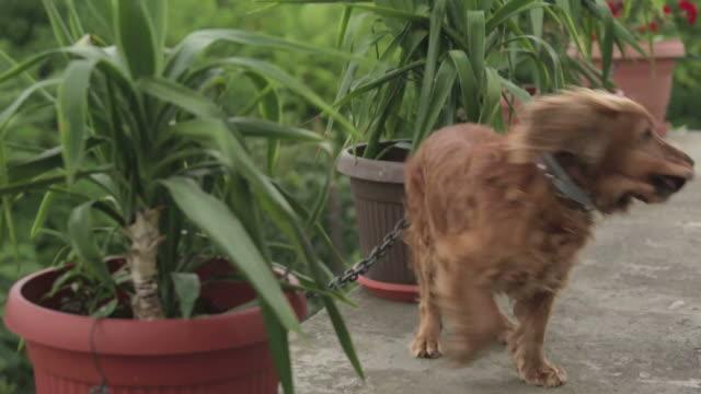 cocker spaniel agitated dog