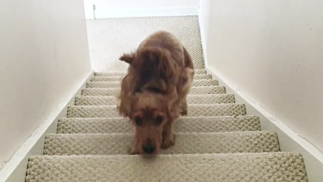 vídeos de stock e filmes b-roll de cocker spaniel dog running up stairs slow motion - degraus