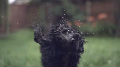 vídeos de stock, filmes e b-roll de slo mo cocker spaniel (canis lupus familiaris) shakes off water, uk - molhado