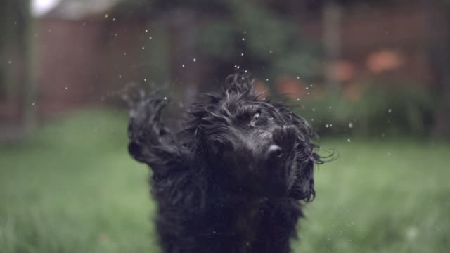 SLO MO Cocker Spaniel (Canis lupus familiaris) shakes off water, UK