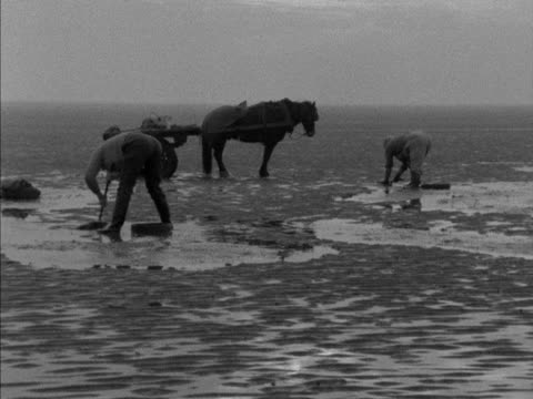 cockle gatherers dig out cockles from the sand on penclawdd beach 1959 - mollusc stock videos & royalty-free footage