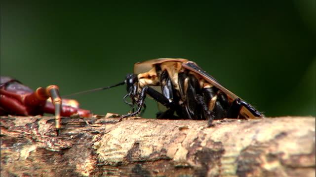 a cockroach approaches a centipede. - hundertfüßer stock-videos und b-roll-filmmaterial