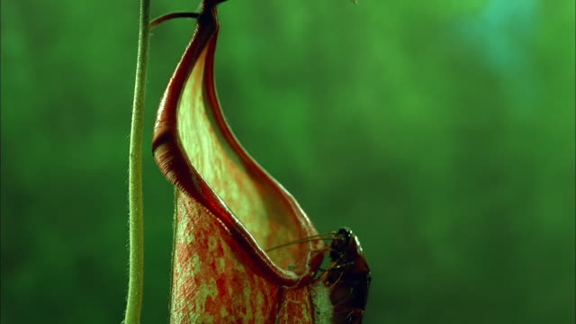 cockroach crawls over nepenthes pitcher, north america available in hd. - carnivorous plant stock videos and b-roll footage