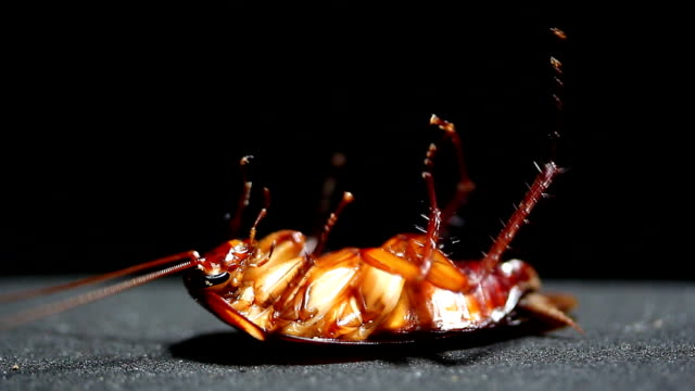 cockroach dying close up black background studio shot - cockroach stock videos & royalty-free footage