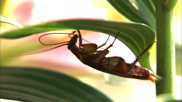 cockroach hanging on leaf and preening its antenna - ゴキブリ点の映像素材/bロール