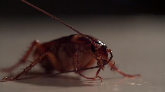 vídeos de stock e filmes b-roll de cockroach preening its antenna - inseto