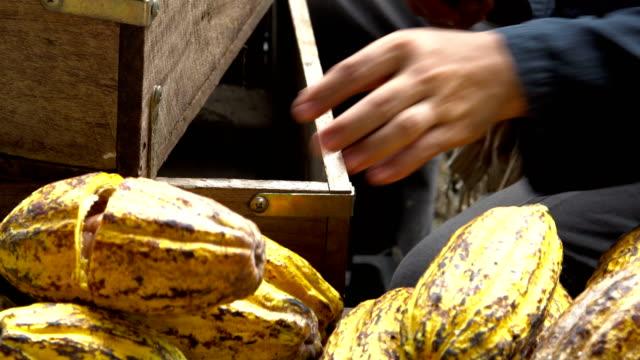カカオ豆やココアの鞘木製の表面。 - 作物点の映像素材/bロール