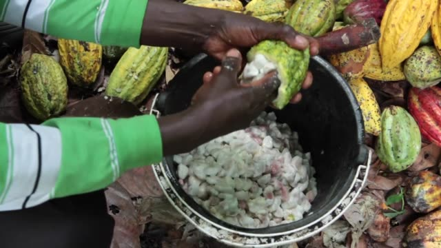 Cocoa farming in the Beni area of the Democratic Republic of Congo started in the late 1990s after the coffee plantations that were historically...