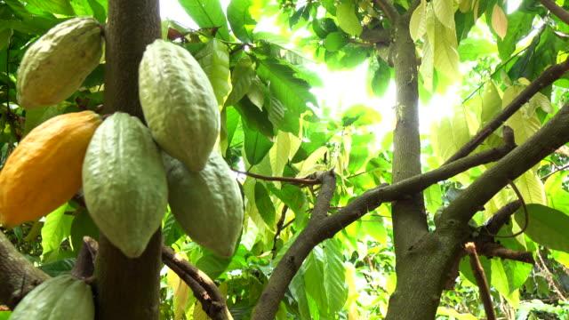 kakaobohnen auf baum - ernten stock-videos und b-roll-filmmaterial