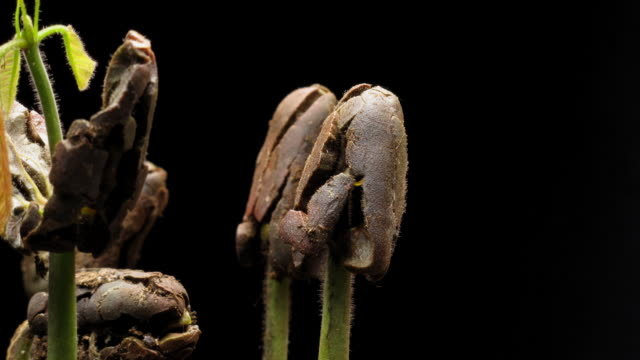 T/L Cocoa (Theobroma cacao) germination, close up side view against black background
