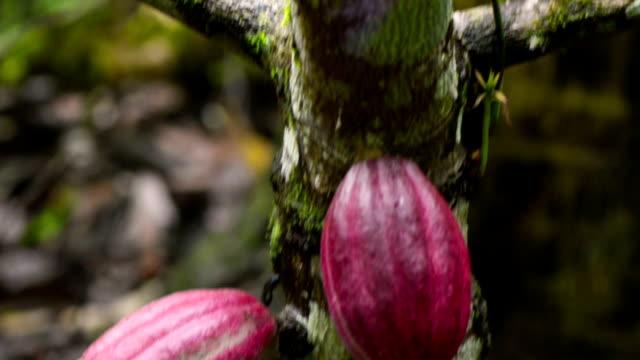 vídeos de stock e filmes b-roll de plantação de cacau - casca de árvore