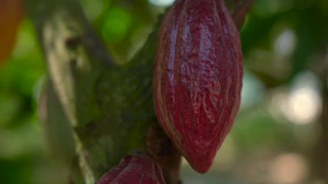 cocoa pods from vietnam - 4k resolution - cultivated land stock videos & royalty-free footage