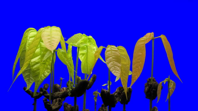 T/L Cocoa (Theobroma cacao) seedling growth against blue screen
