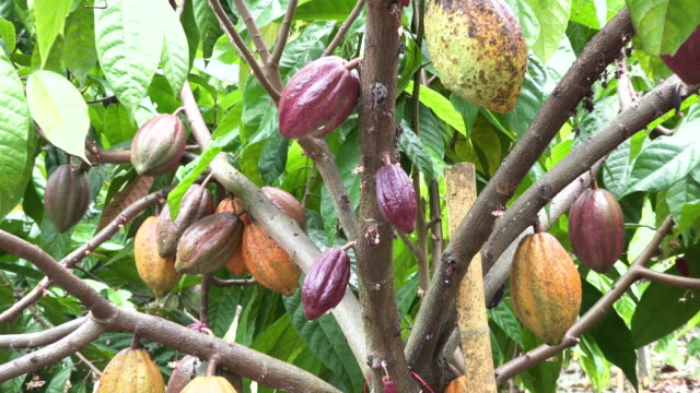 cocoa tree with fruit - cocoa powder stock videos & royalty-free footage