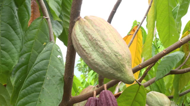 cocoa tree with fruit - plant pod stock videos & royalty-free footage