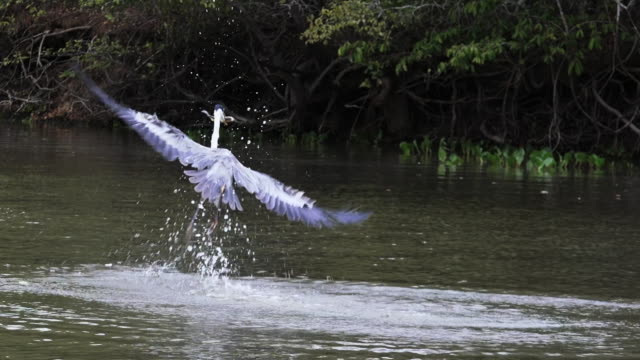 Cocoi Heron grabs fish from Rio Claro, Pantanal, Brazil