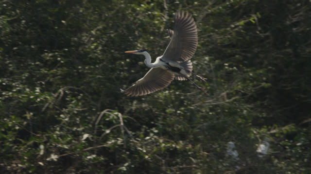 cocoi heron (ardea cocoi) lands in tree. - bunter reiher stock-videos und b-roll-filmmaterial
