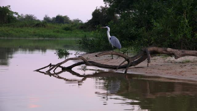 vídeos de stock, filmes e b-roll de cocoi heron on bank of river, pantanal, brazil - animal selvagem