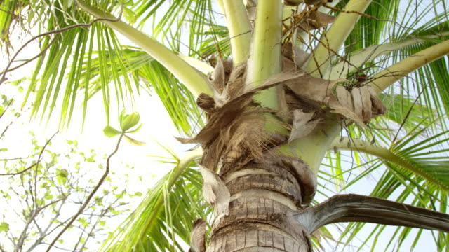 coconut crab climbing tree - marshall islands stock videos & royalty-free footage