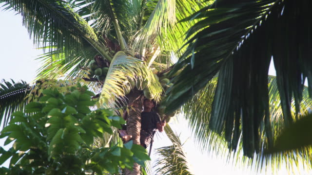 coconut harvesting. farmer on the top of a palm tree picking fruits - coconut palm tree stock videos & royalty-free footage