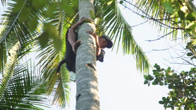 vídeos y material grabado en eventos de stock de coconut harvesting. farmer on the top of a palm tree picking fruits - filipino