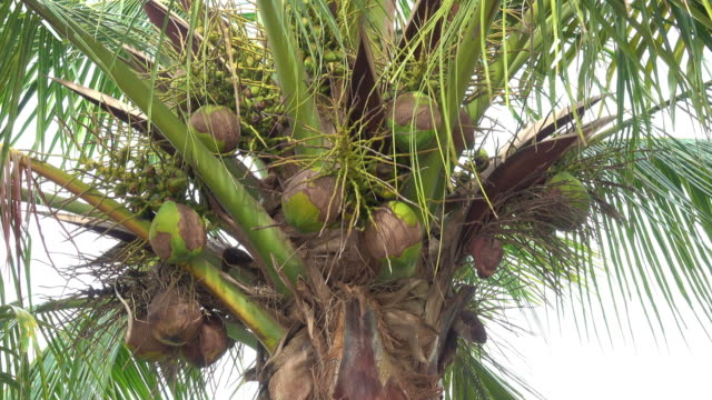 coconut in the garden - coconut palm tree stock videos & royalty-free footage