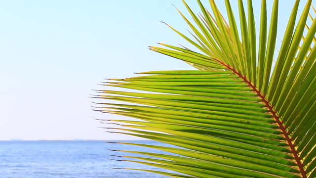 coconut leaves that move along the wind in the summer at the sea beach - coconut palm tree stock videos & royalty-free footage