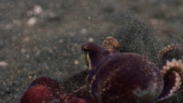 Coconut octopus (Amphioctopus marginatus) carries its coconut shell shelter over seabed, Lembeh, Indonesia