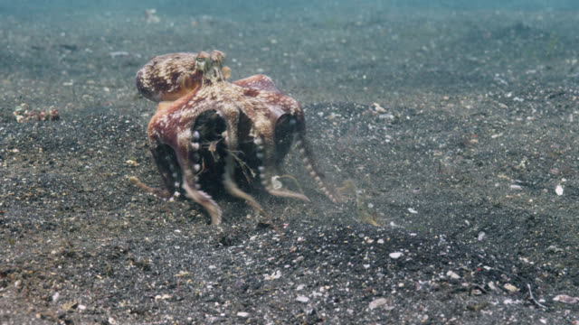 coconut octopus (amphioctopus marginatus) carries its coconut shell shelter over seabed, lembeh, indonesia - ココナッツ点の映像素材/bロール
