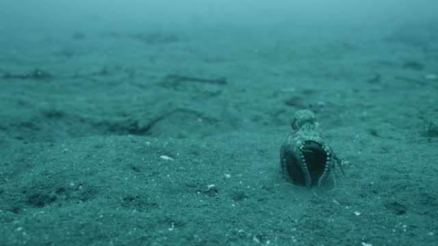 coconut octopus (amphioctopus marginatus) carries its glass bottle shelter over seabed, lembeh, indonesia - ココナッツ点の映像素材/bロール