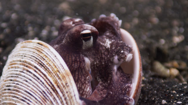 coconut octopus (amphioctopus marginatus) hides between two clam shells, lembeh, indonesia - animal shell stock videos & royalty-free footage