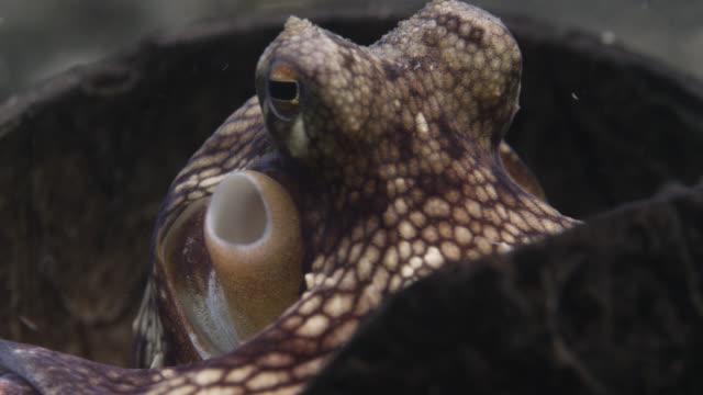 vídeos y material grabado en eventos de stock de coconut octopus (amphioctopus marginatus) hides inside coconut shell shelter, lembeh, indonesia - pulpo