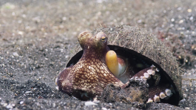 coconut octopus (amphioctopus marginatus) hides under coconut shell shelter, lembeh, indonesia - ココナッツ点の映像素材/bロール