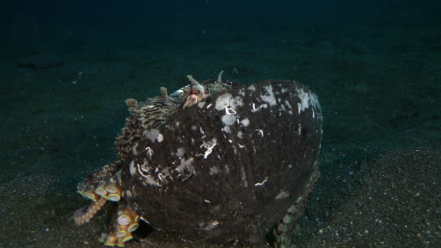 coconut octopus walking with coconut shell and eventually hiding inside of it - ココナッツ点の映像素材/bロール