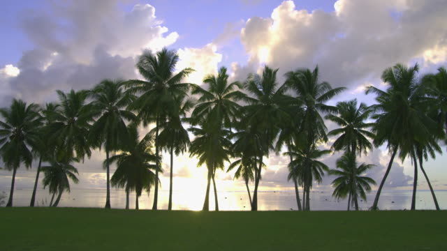 WS, Coconut palm along tropical beach, Aitutaki Lagoon, Aitutaki, Cook Islands