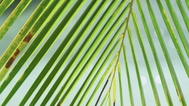coconut palm frond and sparkling sea beyond, belize - frond stock videos & royalty-free footage