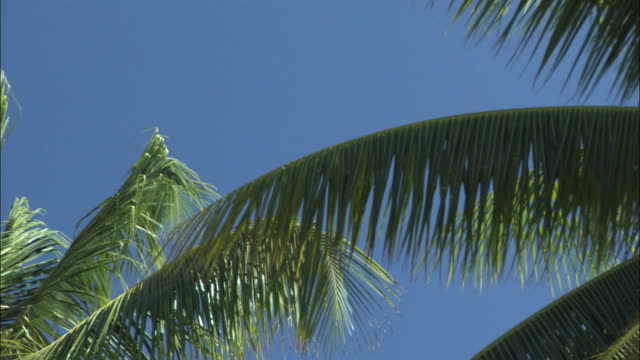 stockvideo's en b-roll-footage met cu la pan coconut palm (cocos nucifera) fronds and coconuts / takapoto atoll, tuamotu, french polynesia - varenblad
