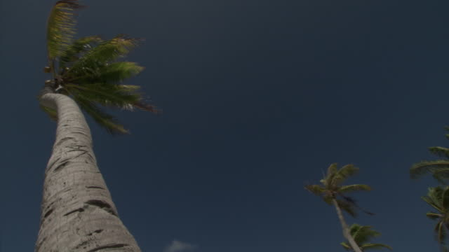 coconut palm (cocos nucifera) on tropical coast, rangiroa, french polynesia - coconut palm tree stock videos & royalty-free footage