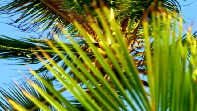 coconut palm tree and palm leaf - tropical tree stock videos & royalty-free footage