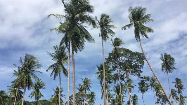 Coconut palm tree on sunshine  at Samui Island