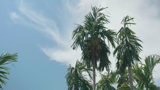 coconut palm tree on the beach. - fan palm tree stock videos & royalty-free footage